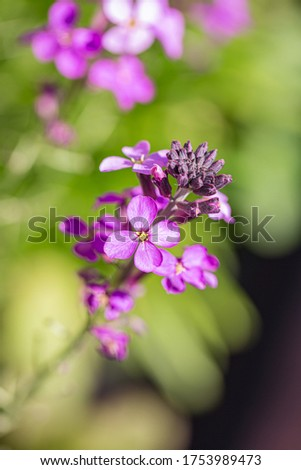 Annual honesty flowers with a shallow depth of field
