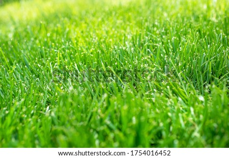 Closeup shallow focus green grass lawn in sunshine, healthy lawn, dull lawnmower blade, damaged grass, new overseed grass, fertilizer application, thick grass, no weeds, weed prevention #1754016452