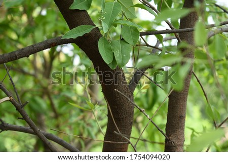Santalum album stems branches twigs dark brown colour with green leaves with selectively focused blurred background Royalty-Free Stock Photo #1754094020