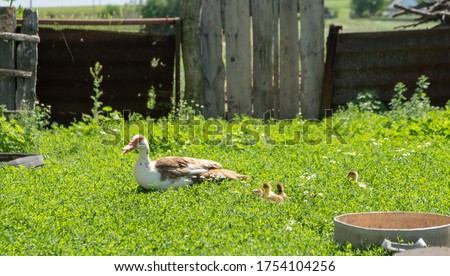 Small ducks with mom duck outdoor in on green grass background. Cute little duckling running on the lawn.