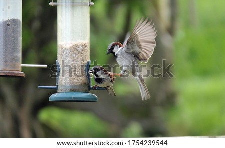 House Sparrow fighting at a seed feeder at bird table in UK