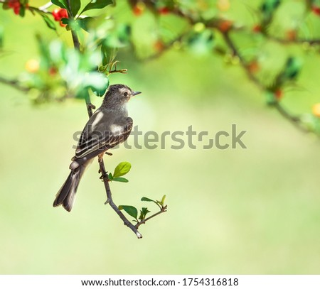 Northern Mockingbird (Mimus polyglottos) perched on a tree branch with red berries in Texas. Natural light green background with copy space.