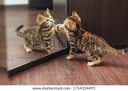 Little cute curious bengal kitten looking into the mirror of a wodrobe indoors Royalty-Free Stock Photo #1754334491