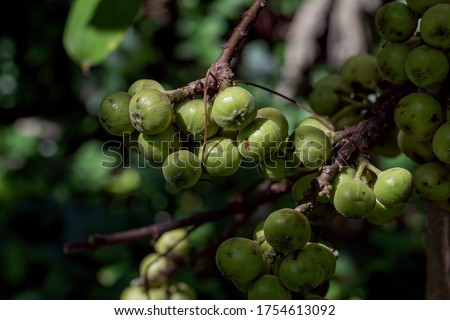The fruit of Ficus Racemos.The common name Fig fruit,cluster fig tree, Indian fig tree or gular fig. #1754613092