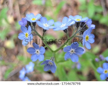macro photo with a decorative background of beautiful blue wild flowers in the shape of a heart in the forest as a source for prints, posters, decor, interiors, Wallpaper, advertising, decoration