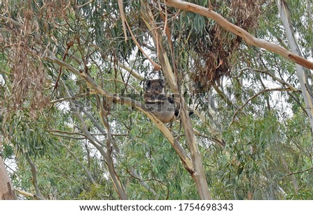 Native to Australia, the Koala is a National treasure and icon and love to hang out in the Gum Trees of the Adelaide Hills, where these pictures were captured.