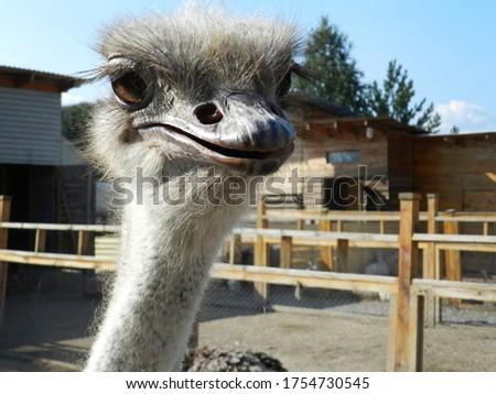 Ostrich head close-up. Ostrich farm. Cute ostrich with long eyelashes.                                #1754730545