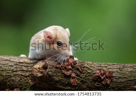 a desert rat known as gerbil ,looking for food