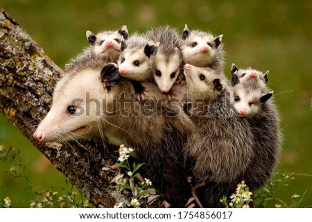 opossums. a family of possums. carries on the back