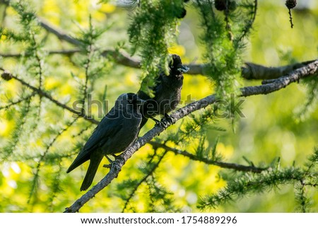 Coloeus monedula. Two Western jackdaws are sitting  on the branch of larch tree  on sunny day. Gray birds on the green background. Summer. #1754889296