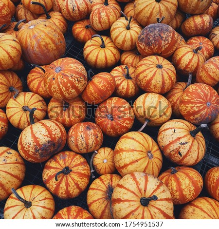 Picture of yellow-orange pumpkins at Maltby, WA