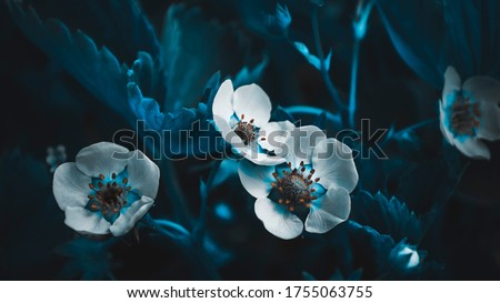 Strawberry flowers close-up in green grass. Flowers with white petals and green leaves in macro with bokeh. Photo in blue tone. Dark night photo