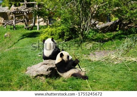 Cute pandas eating bamboo in their natural habitat