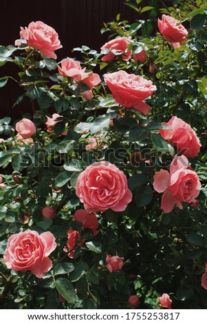 Just warm summer day und beautiful roses, wonderful screensaver fur you