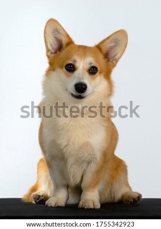 WELSH CORGI PEMBROKE dog sits on isolated white background, Looking at the camera. #1755342923