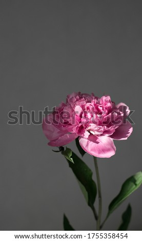 Pink peony on a gray background. Vertical banner with a copy space for your text. Phone screensaver