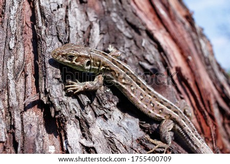 Green forest lizard, sitting on a tree. Wild lizard green. A brown-green lizard sits on a tree. Zootoca vivipara. Lizard from central Europe. #1755400709
