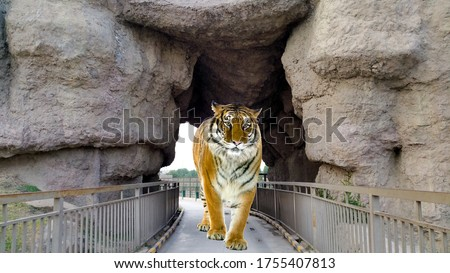 Tiger Coming Out Of cave. Tiger Coming Out of cave stock image. The tiger is coming out from a cave front view. Tiger Coming Out Of cave. #1755407813
