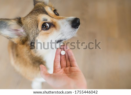 Welsh corgi pembroke sick dog receiving a medifaction in a pill, lookng to the camera. hand with a pill and a dog. owner giving a pill to a dog.  #1755446042