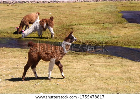 A picture of alpacas in the field under the sunlight