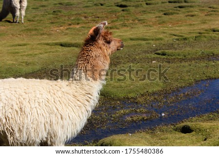 A picture of a fluffy alpaca in the field under the sunlight