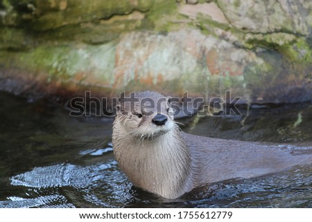 Wild furry otters playing in a cold water