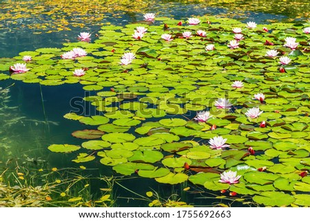 Water lilies Nymphaea sp. cover the surface of a fresh water pond. Water lilies are rooted in soil while there leaves and flowers float on the water surface. Natural background picture