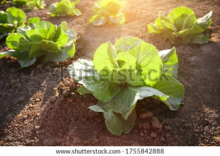 Fresh green cabbage close-up on a farm bed vegetable organic background. Close-up of cabbage Cabbage in the garden on the field, cabbage in the sun in the evening in the spring at sunset #1755842888
