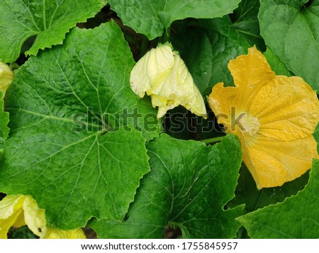 The Leaves and flowers of Winter melon (Benincasa hispida), White gourd, Winter gourd, Ash gourd, Wax gourd showing after the rain with drop in the field. Nice Back-ground. #1755845957