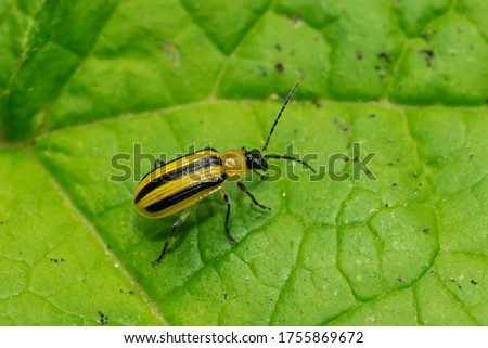 A Striped Cucumber Beetle is resting on a green leaf. Taylor Creek Park, Toronto, Ontario, Canada. Royalty-Free Stock Photo #1755869672