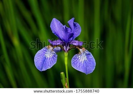 Northern Blue Flag flower growing amongst the grass. Purple iris flower on dark background. Blooming iris versicolor close up.