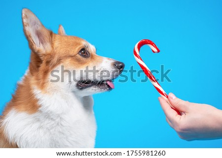 Adorable dog pembroke welsh corgi looks at enjoy sweet Christmas candy canes on a blue background.  #1755981260