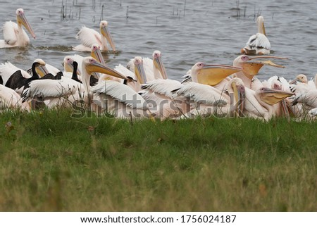 Great white pelican Pelecanus onocrotalus also known as eastern white pelican rosy pelican or white pelican Lake Africa. High quality photo #1756024187