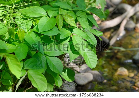 Close up of noxious weed Poison Ivy leaves next to Lovers Creek in Barrie Ontario