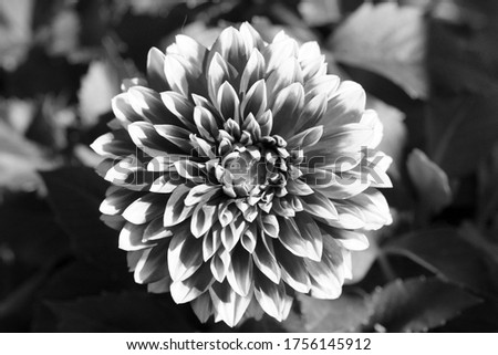 black and white converted Dahlia flower close up picture.