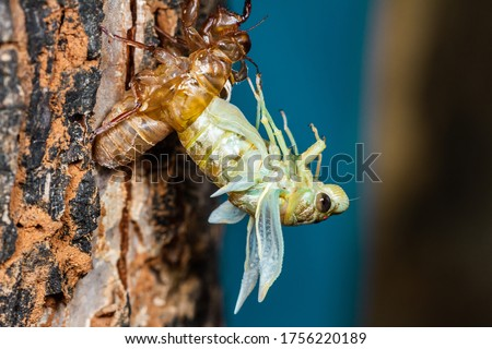 Beautiful scene macro insect molting cicada on tree in nature. Cicada insect stick on tree. Cicada metamorphosis grow up to adult insect #1756220189