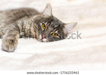 Sad sick young gray cat lies on a white fluffy blanket in a veterinary clinic for pets. Depressed illness, suppressed by the disease animal looks at the camera. Feline health background, copy space. Royalty-Free Stock Photo #1756233461