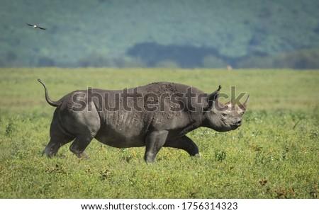 One adult black rhino walking through Ngorongoro Crater plains in Tanzania Royalty-Free Stock Photo #1756314323