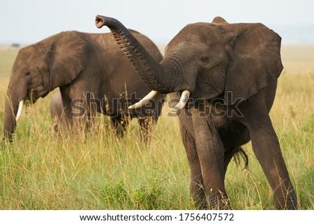 Elephant Big Huge Tusker Amboseli - Big Five Safari -African bush elephant Loxodonta africana - Big Five Safari - Savanna African bush elephant Loxodonta africana  #1756407572