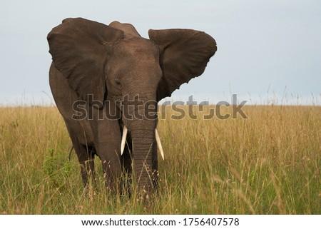 Elephant Big Huge Tusker Amboseli - Big Five Safari -African bush elephant Loxodonta africana - Big Five Safari - Savanna African bush elephant Loxodonta africana  #1756407578