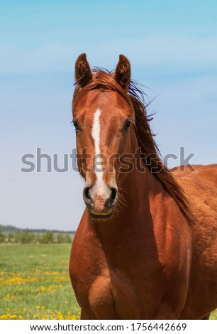 The chest and head of a sorrel colored Quarter horse standing looking at the camera. #1756442669