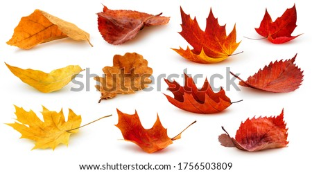 Isolated leaves. Collection of multicolored fallen autumn leaves isolated on white background #1756503809