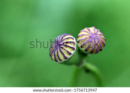 Green seed pods of a poppy #1756713947