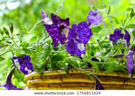Bright and colorful sweet pansy flower bouquet. Close-up of delicate multicolored garden pansies in the flower pot.