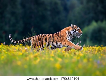 The largest cat in the world, Siberian tiger, Panthera Tigris altaica, running across a meadow full of yellow flowers. Impressionistic scene of the top predator in a nature. #1756812104