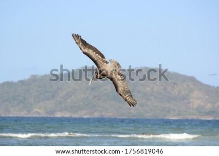 pelican flying bird on blue sky background #1756819046