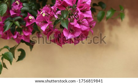 pink bougainvillea flowers on wall background.