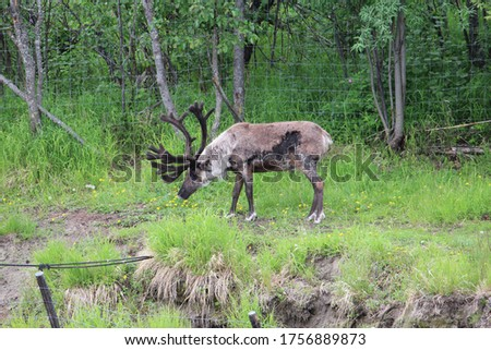 Caribou spotted on the outer banks of Alaska #1756889873
