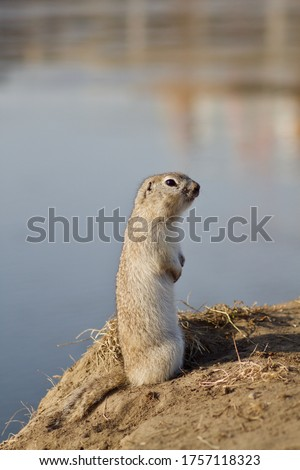 a cute gray Prairie gopher looks into the distance standing on a river cliff