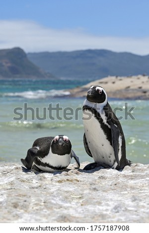 1 penguin standing next to another penguin lying down on a rock out of the ocean with mountains and ocean view in the background.